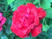 Цветы многолетние,  кустарники,  декоративные растения