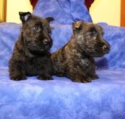 Питомник шотландских терьеров «Brave&Save»  предлагает щенков