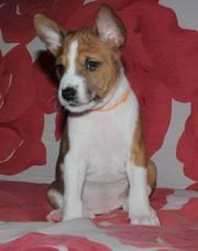 Щенки басенджи - африканской нелающей собаки!