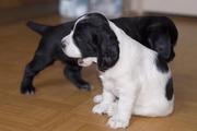 английские кокер спаниели щенки