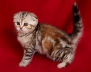 Шотландские яркие и эффектные котята! Доставка.