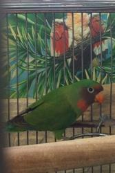 Птенцы попугая-неразлучника