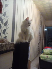 Чудные и милые Ангорскиe котята ищут свой дом!