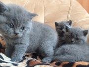 Британские чистокровные котята,  голубого окраса.