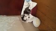 Продажа щенка сибирская хаски