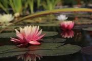 Нимфея,  водяная лилия