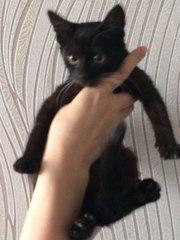 Черный котенок даром