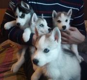 Продаю щенков сибирских хаски