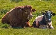 Куплю быков,  лошадей,  коров живым и убойным весом.