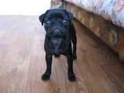 Продается щенок мопса. возраст 3 месяца